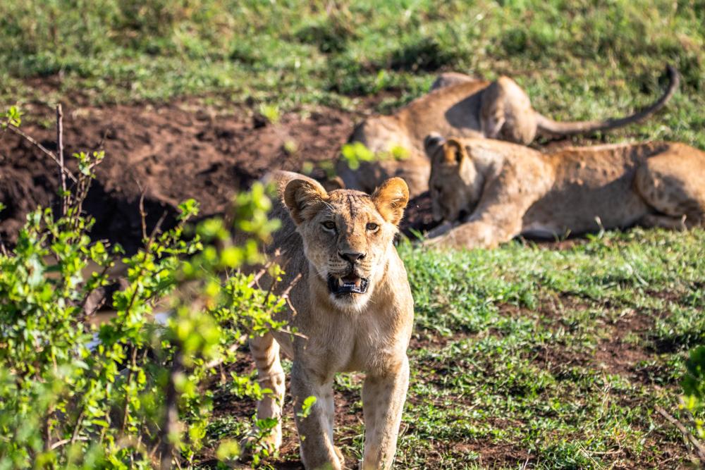 Die Safari übertraf all unsere Erwartungen. Besonders die Begegnung mit einem ganzen Löwenrudel im Tsavo Ost Nationalpark wird uns für immer in Erinnerung bleiben.
